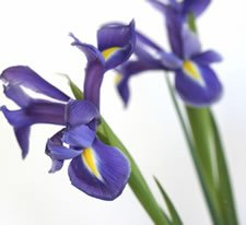 Iris Flower Picture on The Trendiest Colors For Fall 2008 Galas